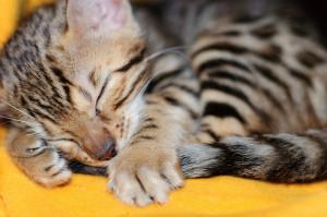 Egy két hónapos bengáli macska