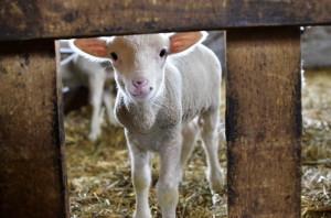 Újévi bárányok Törtelen