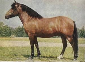 Állatok - hucul ló