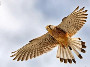 A magyar ősi hagyomány madara a sólyom